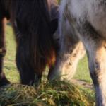 Probiotika und Prebiotika für Pferde